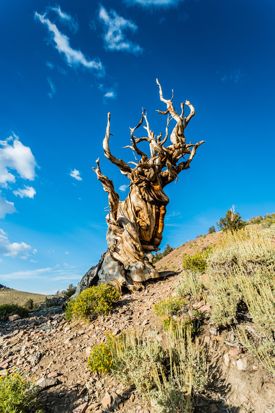 Bristlecone by day