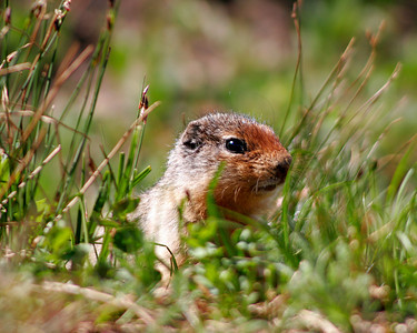 Ground squirrel, Glacier National Park, Montana,    July 2006