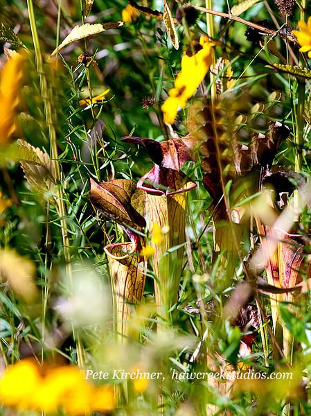 ptcher plant