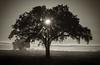 4-10 Yolo Oak Tree-
