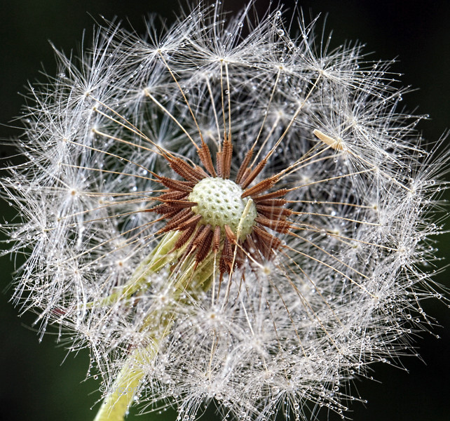 Dandelion seeds with water droplets