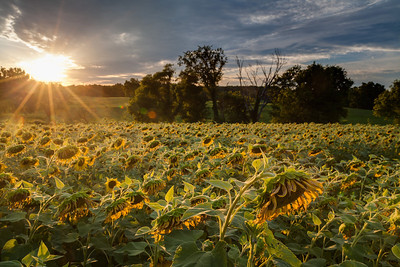 Sunflower field just past peak, bowing their heads.  Rutherford County, TN