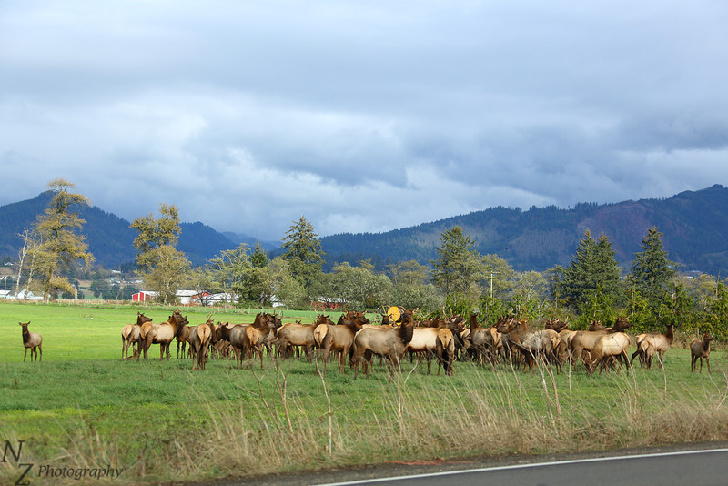 Herd of Elk south of Tillamook, Oregon.