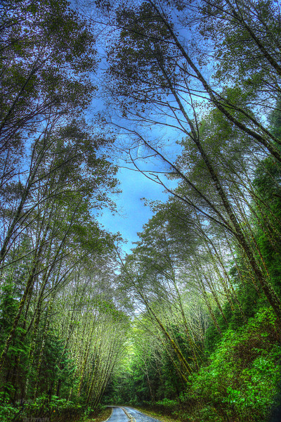Alder trees lining the road in the Tillamook Forrest south of Cannon Beach Oregon.