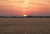 wheatsunrise2