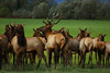 Bull Elk and his ladies south of Tillamook, Oregon.