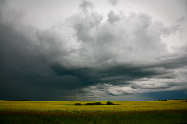 Canola fields under a prairie storm