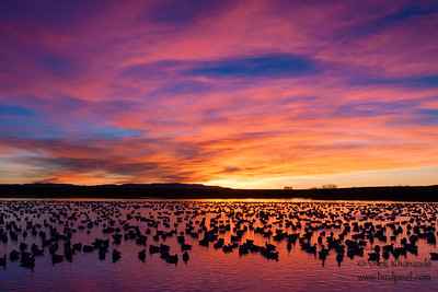 Snow Geese roosting - Bosque-del-Apache, NM, USA