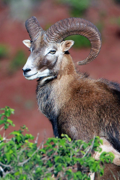"""Mouflon Ram"" - Island of Lana'i, Hawaii"