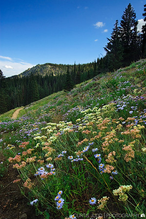 Guardsman Pass Wildflowers
