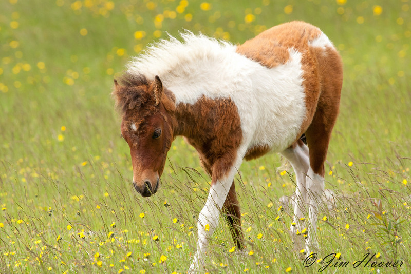 Wild foal at Grayson Highlands State Park