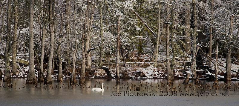 Newport News Park and Tundra Swan.