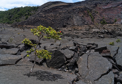 Landscape: ʻOhiʻa Tree, Kilauea Iki Crater | Hawaii Volcanoes National Park