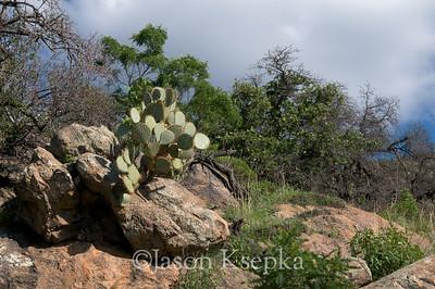 Cactus; Mount Hopkins Road, Santa Rita Mountains, Coronado National Forest, Santa Cruz County, Arizona 7-28-08 34