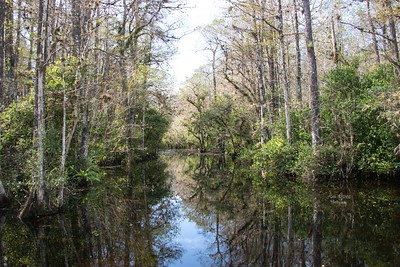 Sweetwater Strand with Cypress Trees at Big Cypress National Preserve Park