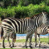 Zebras at Palm Beach Safari , Florida