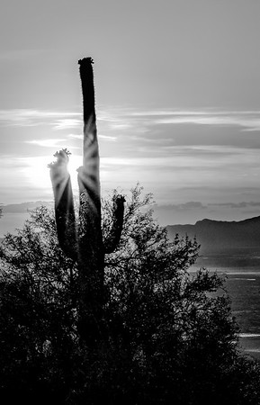 Saguaro at Sunset in B&W
