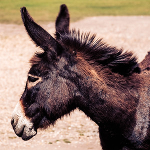 Donkey Mohican