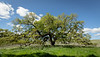 Bruces Oak Tree 2-12-7197