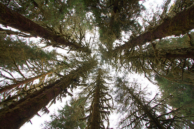 Hoh Rainforest<br /> Olympic National Park, Washington