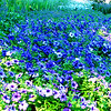 Different shades of blue flowers at Longwood Gardens, Pennsylvania. Visited the park on 4th of July Independence day.