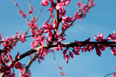 'Appalachian Red' Eastern Redbud.  It is day glow pick and my favorite cultivar.