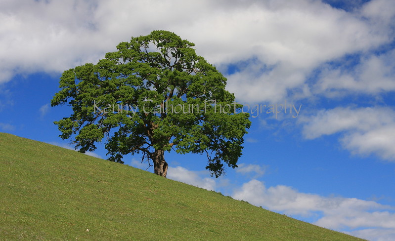 Oak Tree on Hillside Landscape