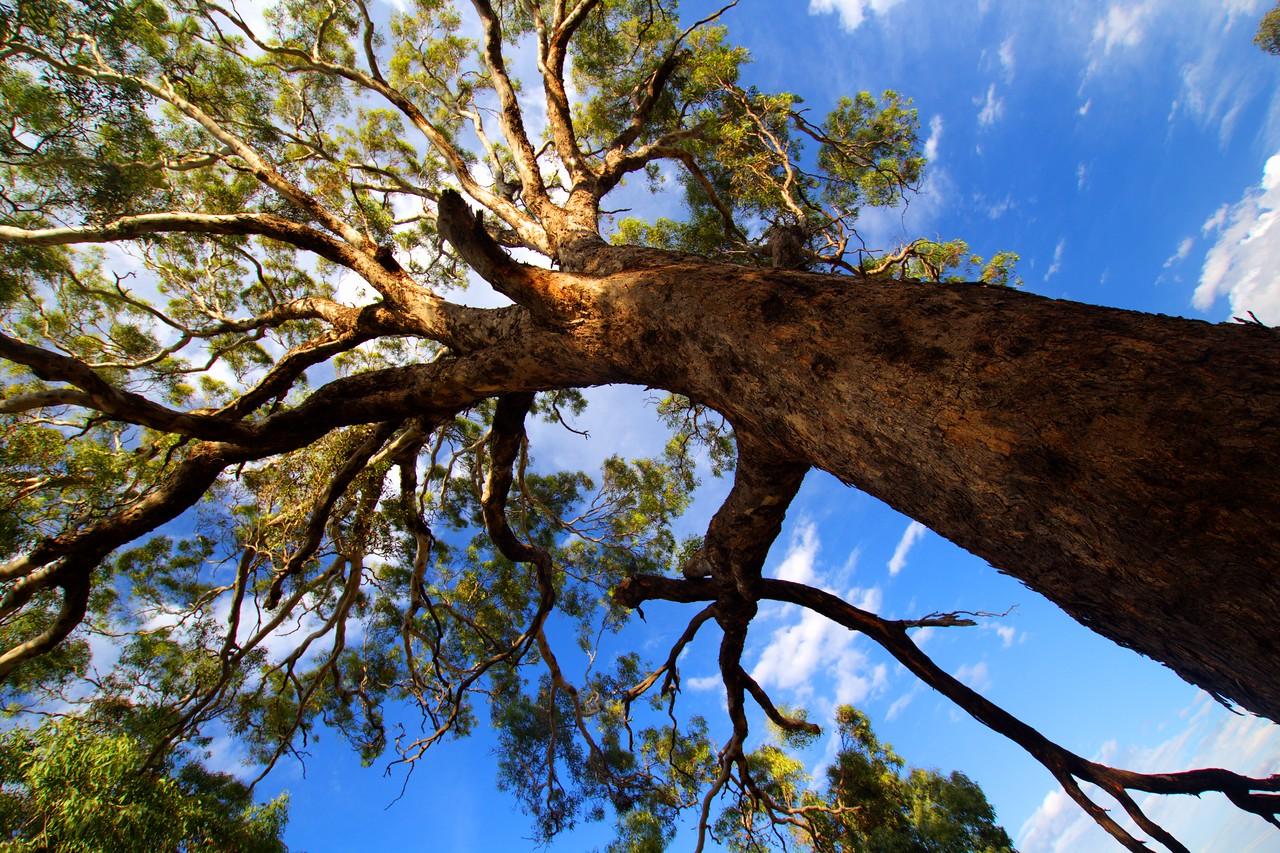 eucalyptus oldus treeus