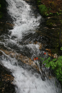 Waterfall and Western Columbine