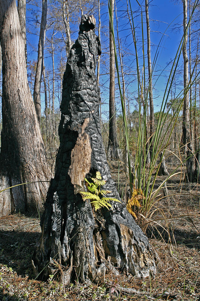 Life begins again... After a terrible fire in the Everglades this fern still finds a way to survive.