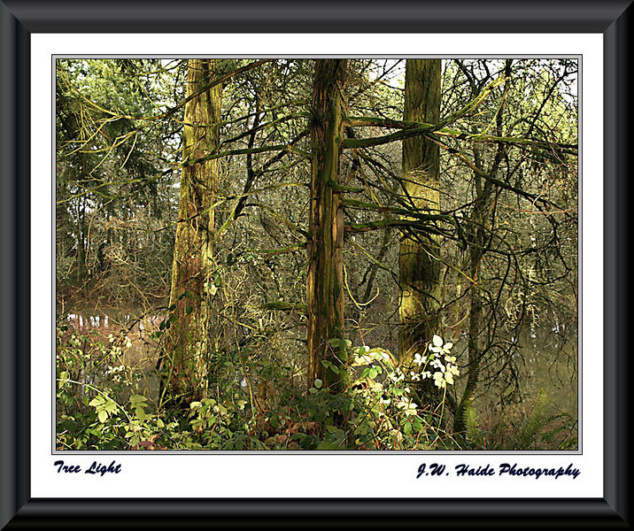 Tree Light - Trees at Rood Bridge Park in Hillsboro, OR