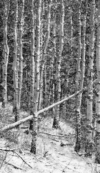 Aspen stand during a snowfall.