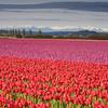 Tulips_04_16_10_0003