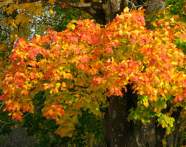 A maple in autumn