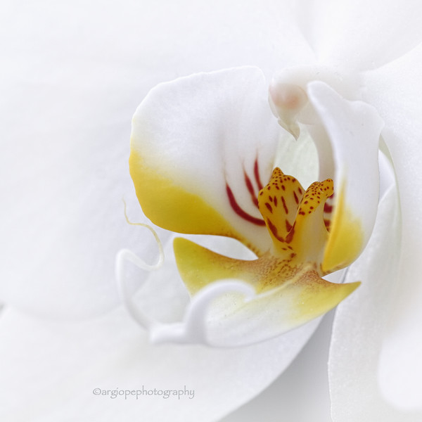 White Phalaenopsis on a white background
