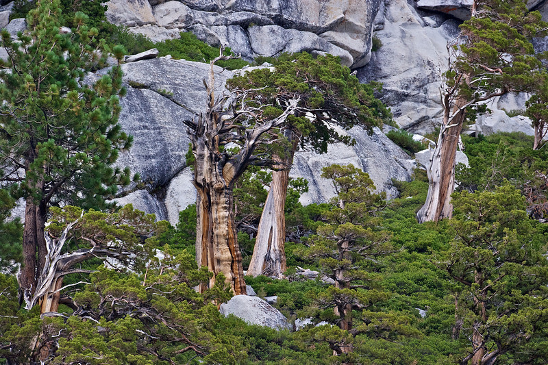 Trees on Half Dome, Yosemite National Park, California