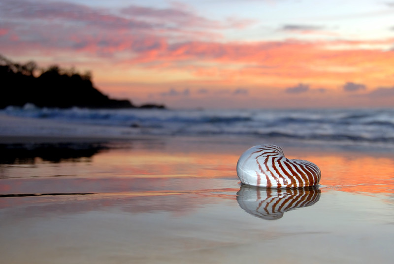 Nautilus shell, Sunrise at Sunshine Beach. Queensland.