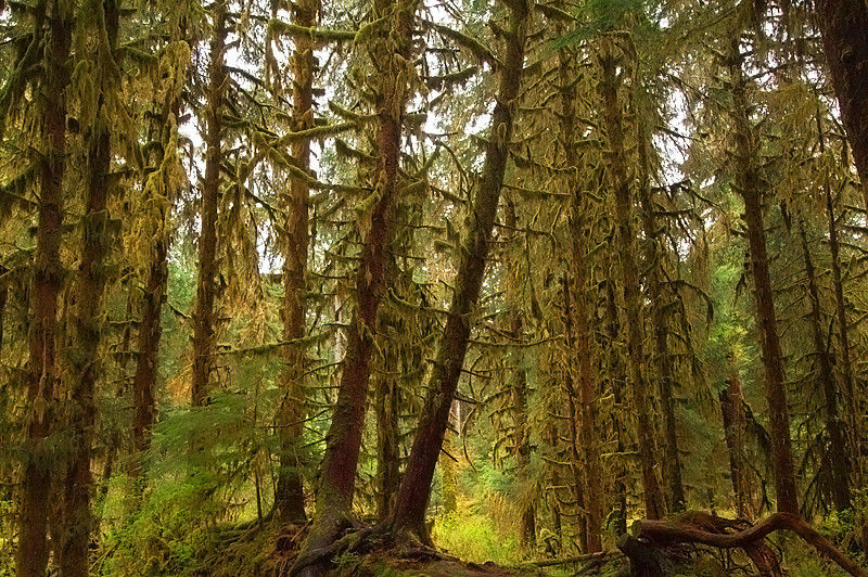 Hoh Rainforest<br /> Olympic National Park, Washington