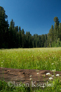Meadow & Sequoiadendron giganteum, Giant Sequoia; Rt 198, Sequoia National Park, Tulare Co, California 2009-08-17 21