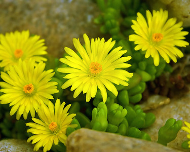 Yellow flowers_5696