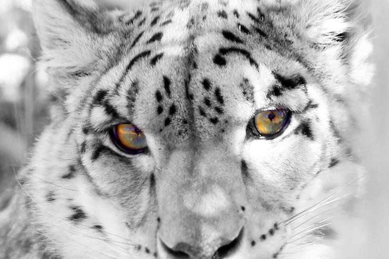 Snow Leopard Eyes
