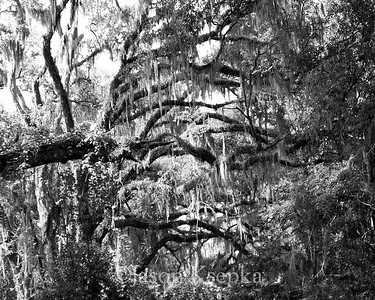 Forest covered in Spanish Moss; Alachua County, Payne's Prairie State Park, Micanopy, Florida  2006-03-28  #9