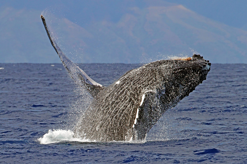 Humpback Whale Breeching - Near the island of Lana'i, Hawaii