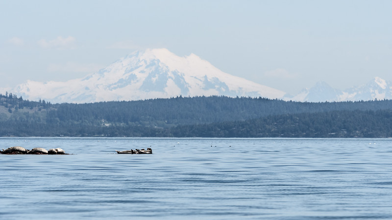 Mount Baker and sunning seals.