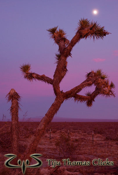 Joshua Tree / Near Death Valley National Park / California<br /> <br /> As described in my previous pic, I got to this tree after much running and sweating. I shot the sunset for which I had run and then turned around. Wow I could see an almost full moon against the slightly colored sky. I adjusted so that the moon just came over the spines of the joshua tree