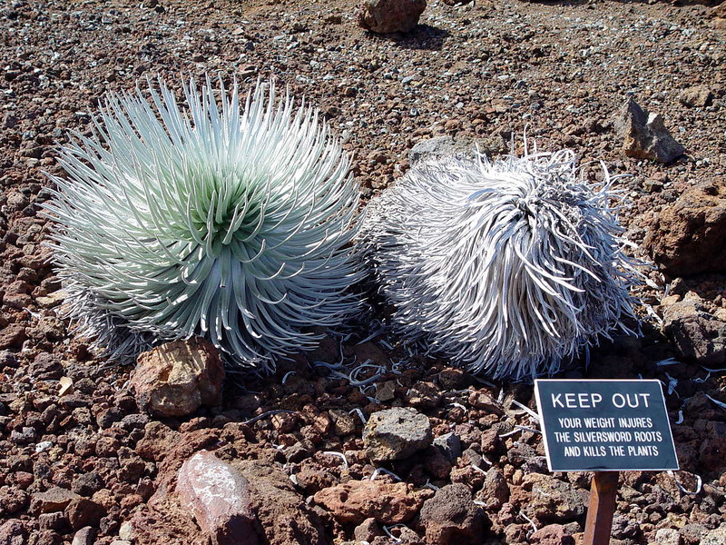 These are endangered Silversord plants growing near the caldera of Mauna Kea's Kilauea Volcano.