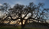 Bruce's Oak Sunset 2-17-20-2357
