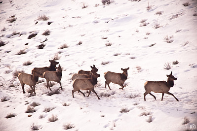 Wasatch Elk from the Air-2
