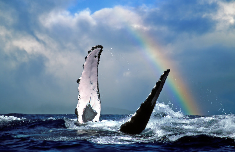 """Whale Rainbow"" - Hawaii"