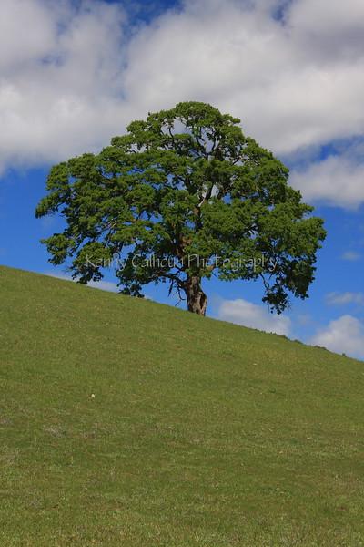 Oak Tree and Hill Profile